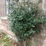 Mistletoe at Dunino