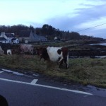 Cows on Mull