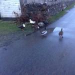 Ducks on Mull